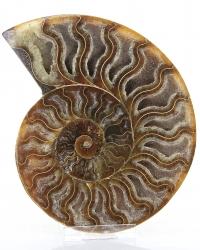 Ammoniten Scheibe poliert, ca. 255 g, Fossil, Versteinerung, inkl. Halter